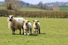 Pecore ed agnelli rari della razza Fotografie Stock Libere da Diritti