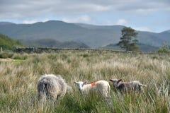 Pecore ed agnelli sopra Elterwater Fotografia Stock