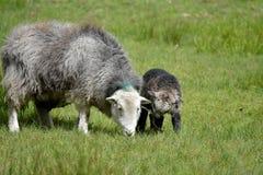 Pecore ed agnelli sopra Elterwater Fotografia Stock Libera da Diritti