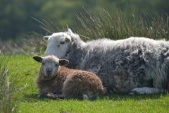 Pecore ed agnelli sopra Elterwater Immagini Stock