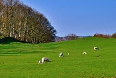 Pecore ed agnelli in un campo verde Fotografie Stock Libere da Diritti