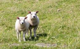 Pecore ed agnello Immagine Stock