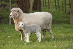Pecore ed agnello Fotografia Stock Libera da Diritti