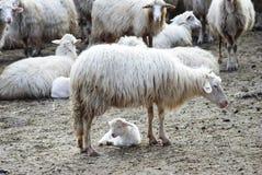 Pecore ed agnello Fotografie Stock