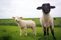 Pecore ed agnello immagini stock