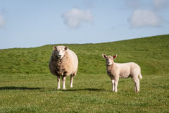 Pecore ed agnello Fotografia Stock
