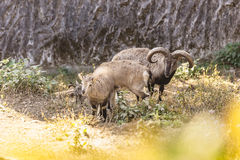 Pecore ed agnello blu con l'arbusto nella priorità alta che vivono nel parco zoologico himalayano di Padmaja Naidu a Darjeeling,  Fotografie Stock Libere da Diritti