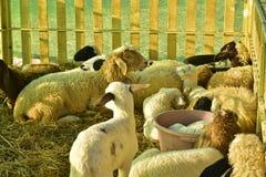 Pecore ed agnello che si trovano sulla paglia in una stalla Immagine Stock Libera da Diritti