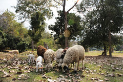 Pecore ed agnello del bambino Immagini Stock Libere da Diritti
