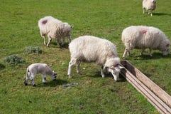 Pecore ed agnello in giorno pieno di sole Immagini Stock Libere da Diritti