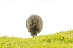Pecore ed agnello nella montagna fotografia stock libera da diritti