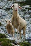 Pecore ed agnello nelle montagne Fotografia Stock