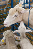 Pecore ed agnello rinchiusi Fotografia Stock Libera da Diritti