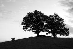 Pecore ed alberi Fotografia Stock Libera da Diritti