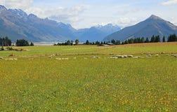 Pecore ed alpi del sud Fotografia Stock