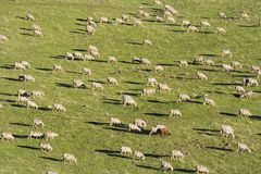 Pecore ed il nero Immagine Stock