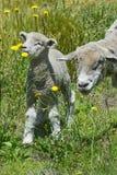 Pecore ed il suo allevamento nel campo di pampa Fotografia Stock