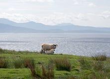 Pecore ed il suono di Sleat fotografia stock