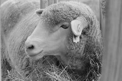 Pecore in Emmett, Idaho Immagini Stock Libere da Diritti