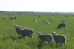 Pecore in erba Immagine Stock Libera da Diritti