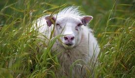 Pecore etichettate fotografia stock