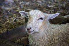 Pecore felici Immagine Stock