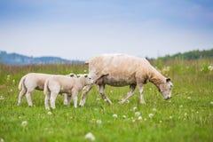 Pecore femminili della pecora di Texel con l'agnello neonato in prato verde fertile nel tempo di primavera fotografie stock