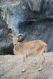 Pecore femminili di Barbary (lervia del Ammotragus) Immagine Stock