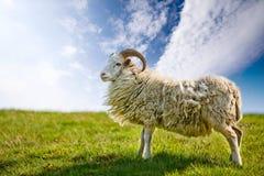 Pecore fiere Fotografie Stock Libere da Diritti