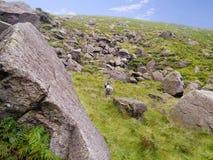 Pecore fra i massi fotografie stock libere da diritti