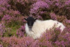 Pecore fra l'erica Immagini Stock Libere da Diritti