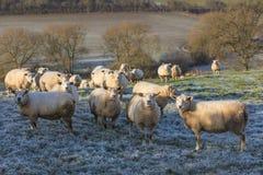 Pecore in Frosty Field Immagini Stock Libere da Diritti