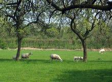 Pecore in frutteto immagini stock libere da diritti