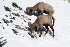 Pecore gemellate del Big Horn Fotografia Stock
