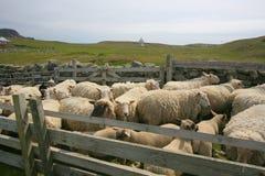 Pecore giuste dell'isola Fotografia Stock Libera da Diritti