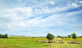 Pecore grasse che pascono nella campagna dell'Italia Fotografie Stock Libere da Diritti