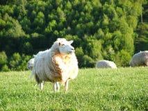 Pecore inglesi Immagine Stock