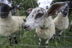 Pecore inquisirici amichevoli Fotografie Stock Libere da Diritti