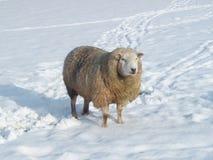 Pecore in inverno Fotografia Stock Libera da Diritti