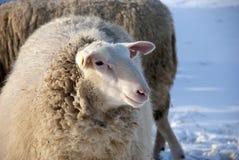 Pecore in inverno Fotografia Stock