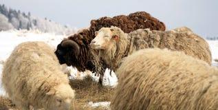 Pecore. Inverno sull'azienda agricola. Fotografie Stock Libere da Diritti