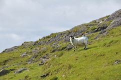 Pecore Irlanda Fotografia Stock