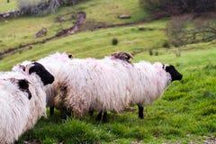 Pecore in Irlanda Immagini Stock
