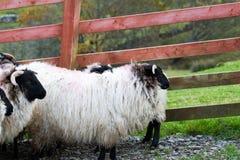 Pecore in Irlanda Fotografia Stock Libera da Diritti