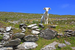 Pecore irlandesi Fotografia Stock