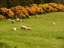 Pecore irlandesi Immagine Stock