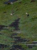 Pecore in Islanda Fotografia Stock Libera da Diritti