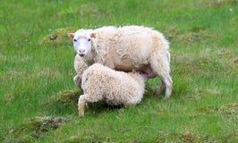Pecore islandesi Fotografie Stock Libere da Diritti