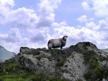 Pecore isolate che posano sulla roccia Immagine Stock