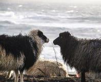 Pecore in isole faroe Immagine Stock Libera da Diritti